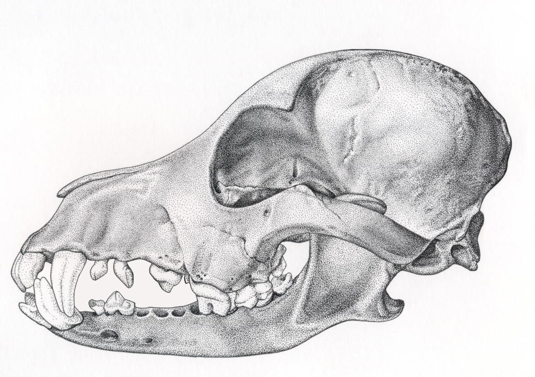 Canine Skull / Pen & Ink